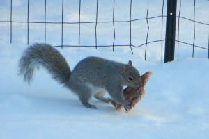 2013.02.14 Squirrel Eating Pizza (2)